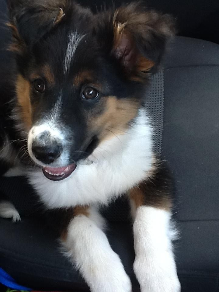 our baby sheltie border collie mix tucker dogs
