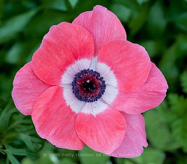 Poppy Anemone Anemone Coronaria Beautiful Flower Pictures Blog Beautiful Rose Flowers Beautiful Flowers Pictures Flower Pictures