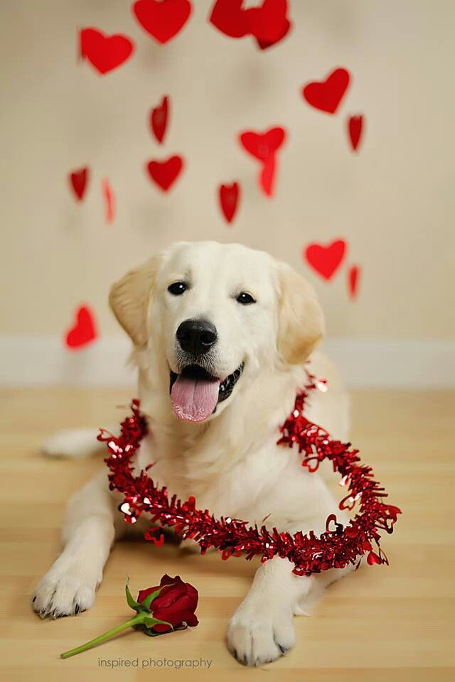 My Golden Retriever Cooper Valentine S Day Photo Melting My