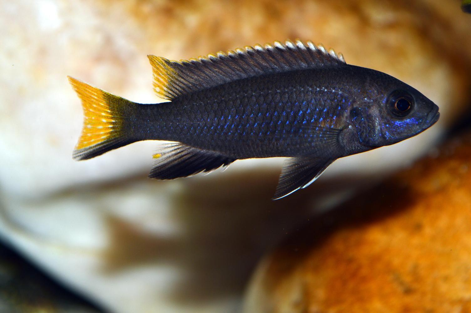 Pseudotropheus elegans Itungi