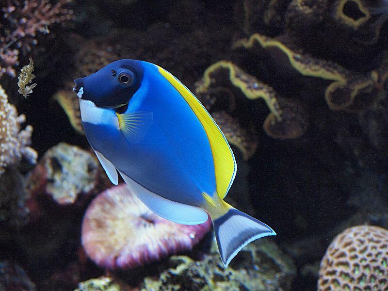 Powder Blue Tang Rainbow Fish Tropical Fish Tropical