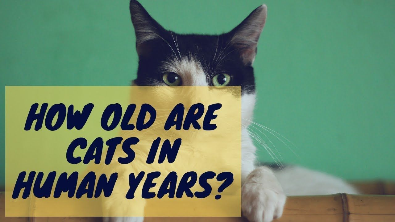How Old Are Cats In Human Years Kittens Funny Cats Cat Personalities