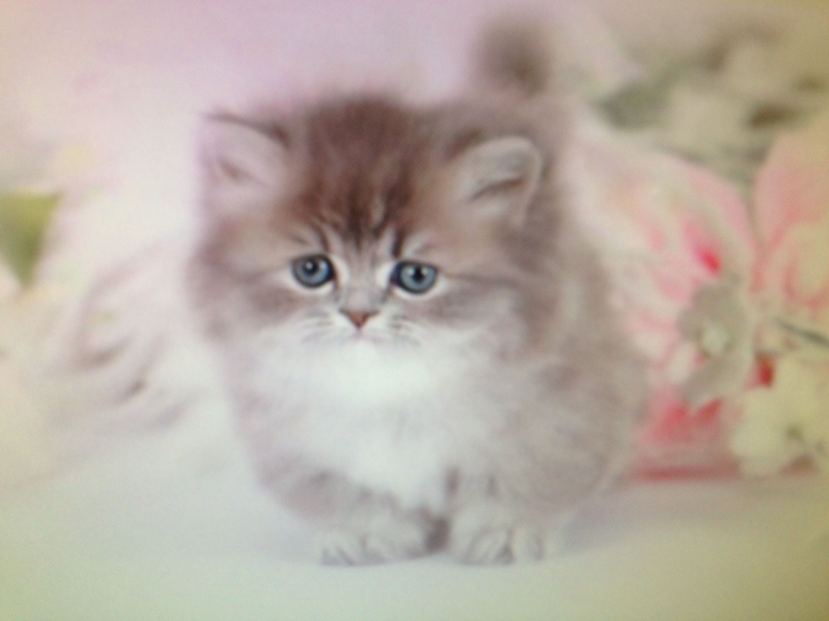 It\'s a teacup rug hugger Persian!! It\'s legs only grow to be 2 ...