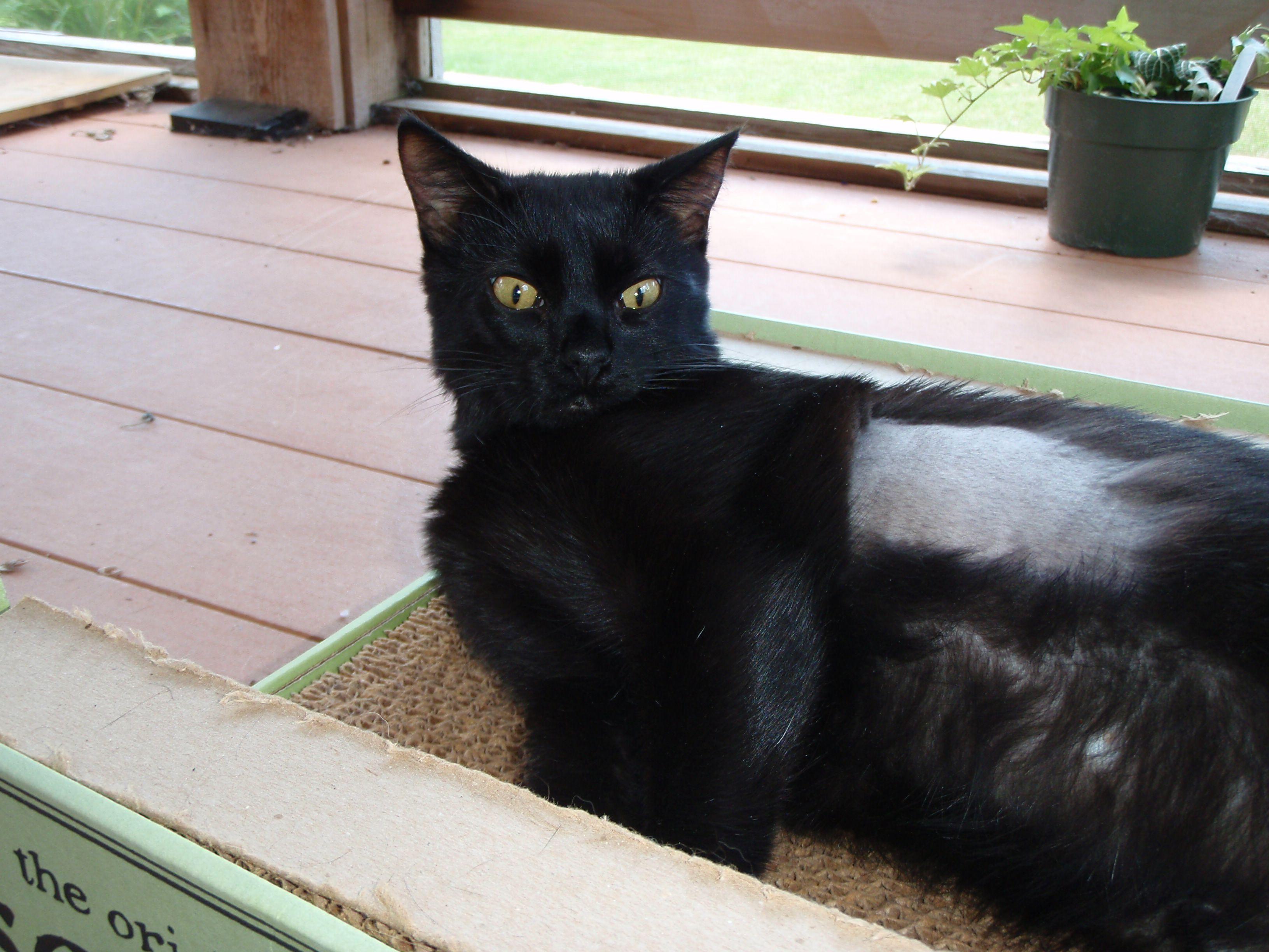 Saiyoko Cat love, Black cat, Feline
