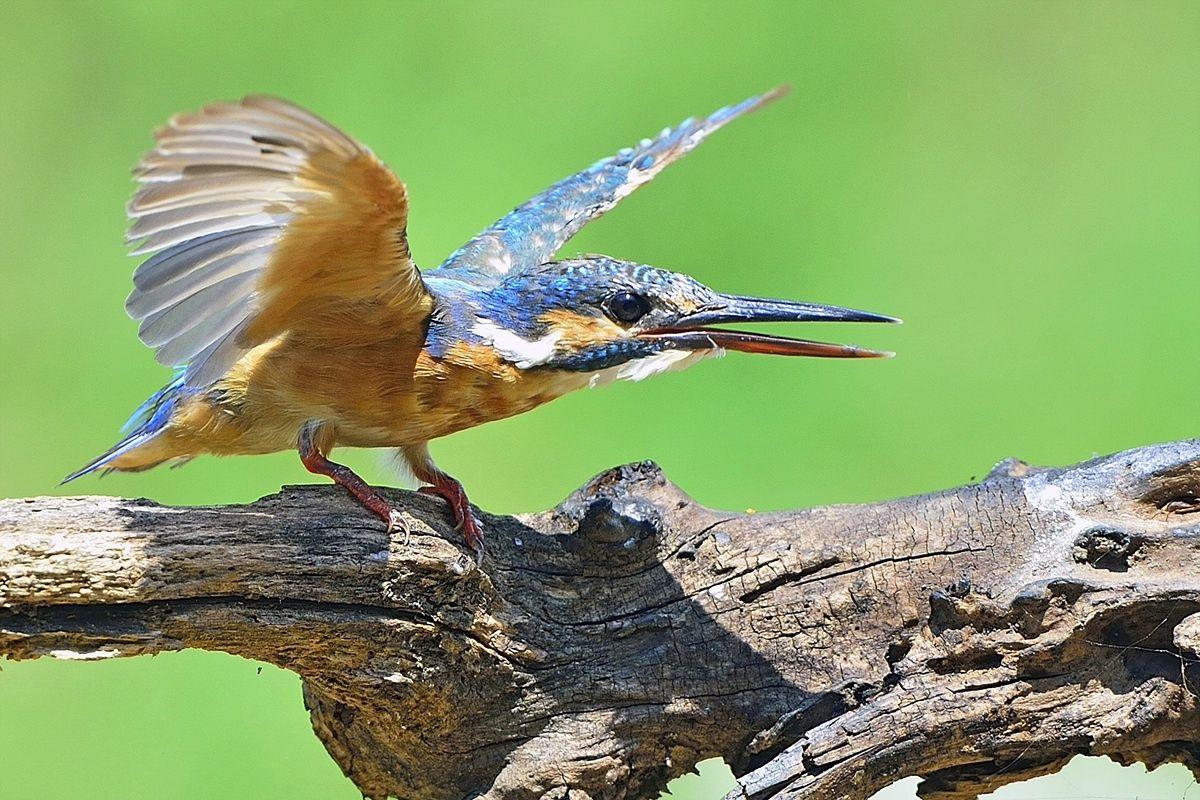Martinpêcheur d'Europe Common Kingfisher Martín