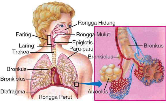 Bagian Sistem Pernapasan Pada Manusia Dan Fungsinya Paru Paru Manusia Pernafasan