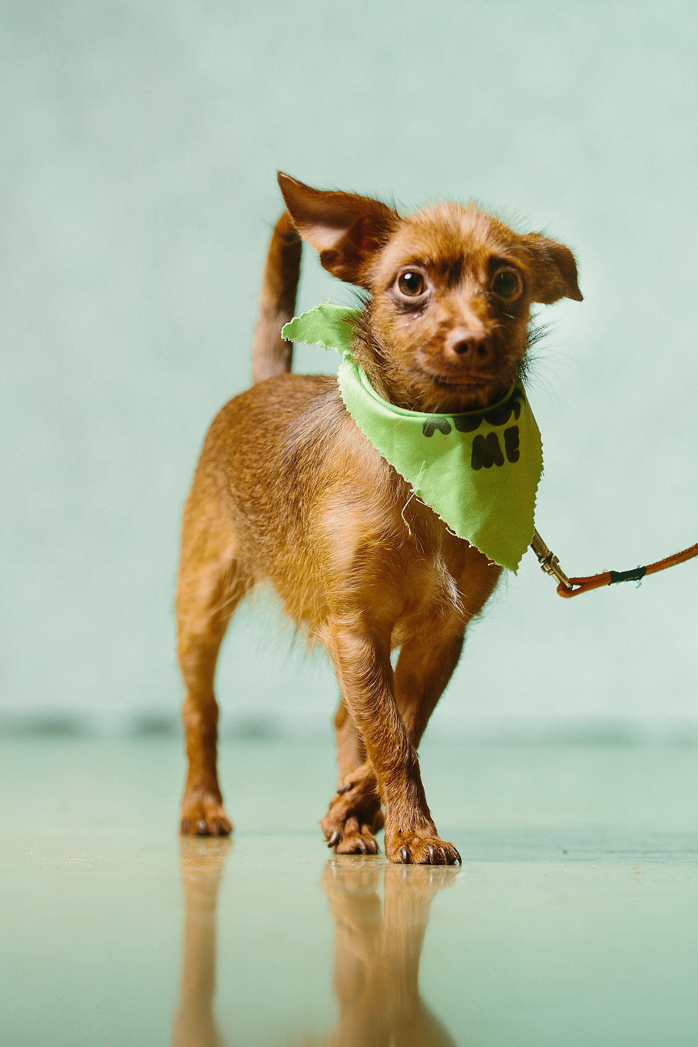 Adopt Baker on Yorkshire terrier, Yorkie, Chihuahua mix