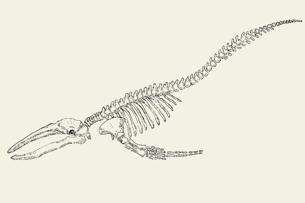 Whale skeleton by Alphredito | Reference - Mermaid Skeleton ...