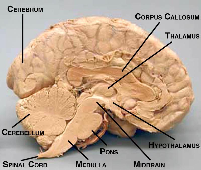 Sagital Cut Sheep Brain Labeled Sheep Brain Map Midsaggital View