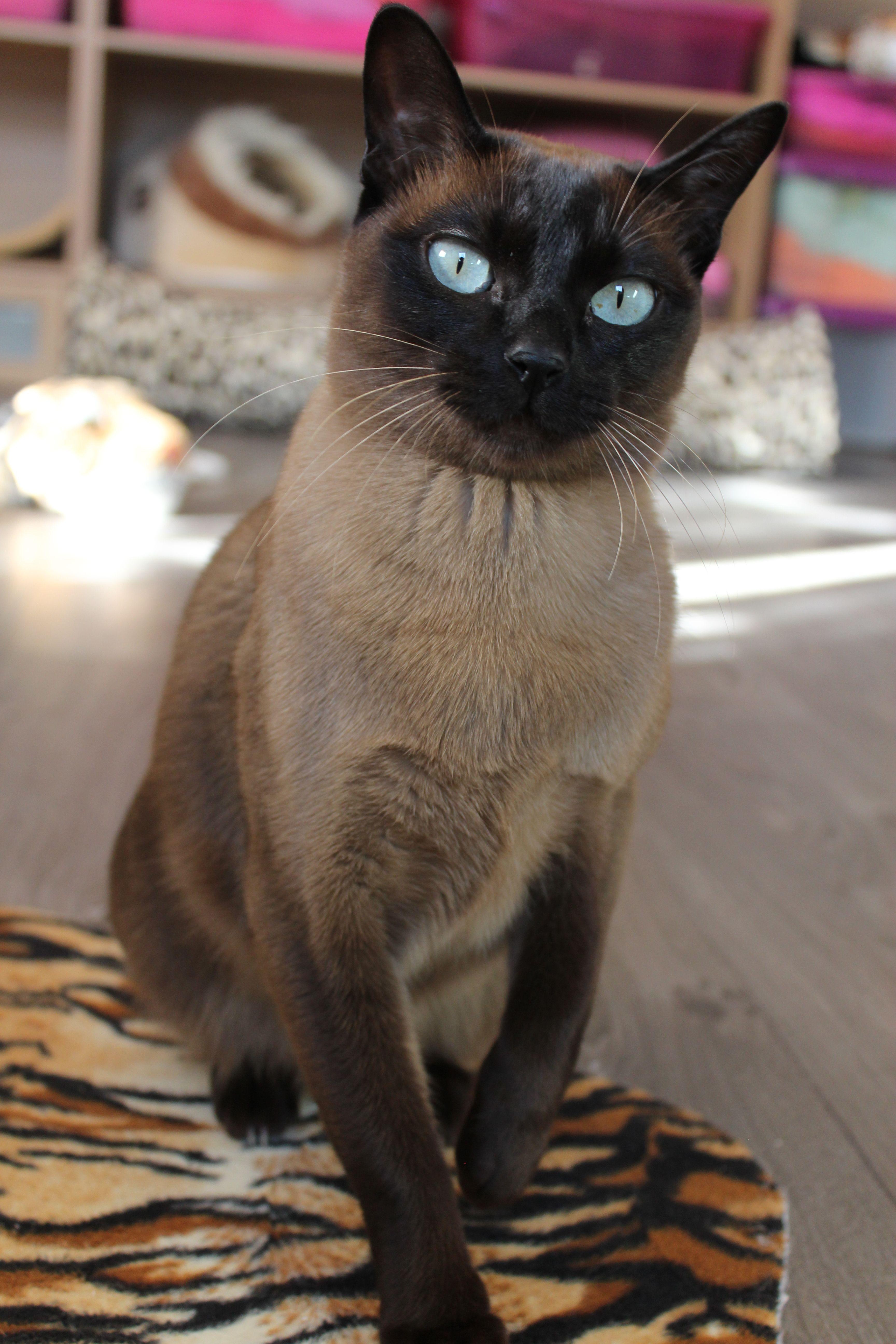 Fe O Linh Du Bois De Gury Seal Mink I Love Cats Cute Cats Cat Pics