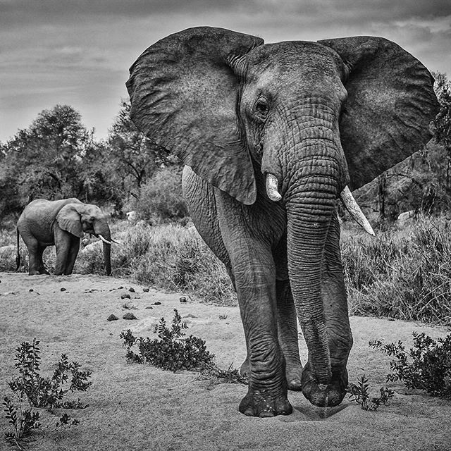 Photo @ladzinski / A bachelor heard of large bull elephants taking their time as they graze and move across a dry river bed in Kruger National Park South Africa. It's #WorldElephantDay the goal of which is to promote awareness of the threats these incredible animals are facing. To learn more please visit worldelephantday.org by natgeo