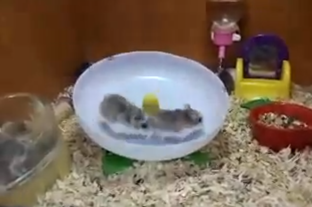 Two hamsters, one wheel Watch hilarious video of pets