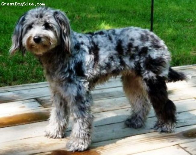Aussiedoodle Aussiedoodle Puppy Mix Dog Breeds