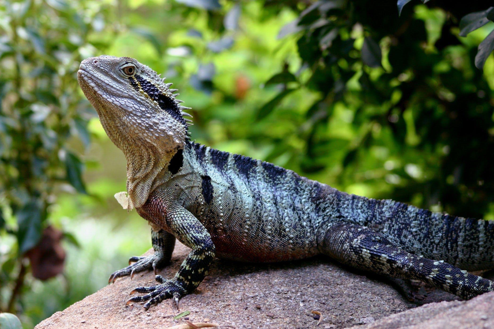 Australian Water Dragon Lizard: Australian Water Dragon (Intellagama Lesueurii)