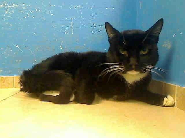TO BE DESTROYED TUESDAY 10/23/12 NY*** BUBBA (or Batman ;)) is a 2 yr boy, a great kitty that has certainly enjoyed the comforts of home, being happy around people. He even earned a fantastic AVERAGE rating during behavior evaluation, despite being distracted by a painful abscessed foot. Bubba's foot is healing nicely & he's totally ready to begin again, totally ready to meet his foster/adoptive family & get on w/ the business of living. If you can adopt or foster to save him, please act…