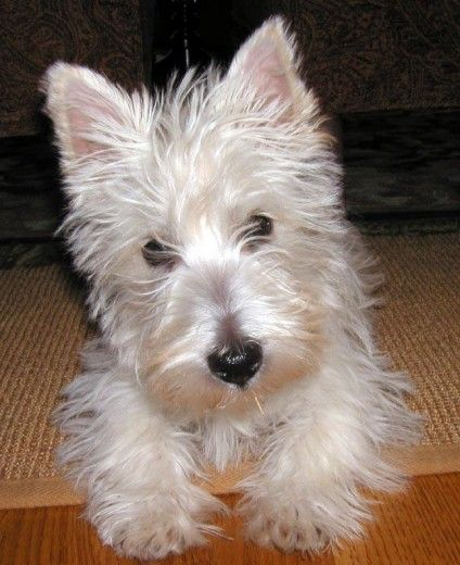 West Highland White Terrier Scottish Terrier Puppy Scottie Puppies Terrier Dog Breeds
