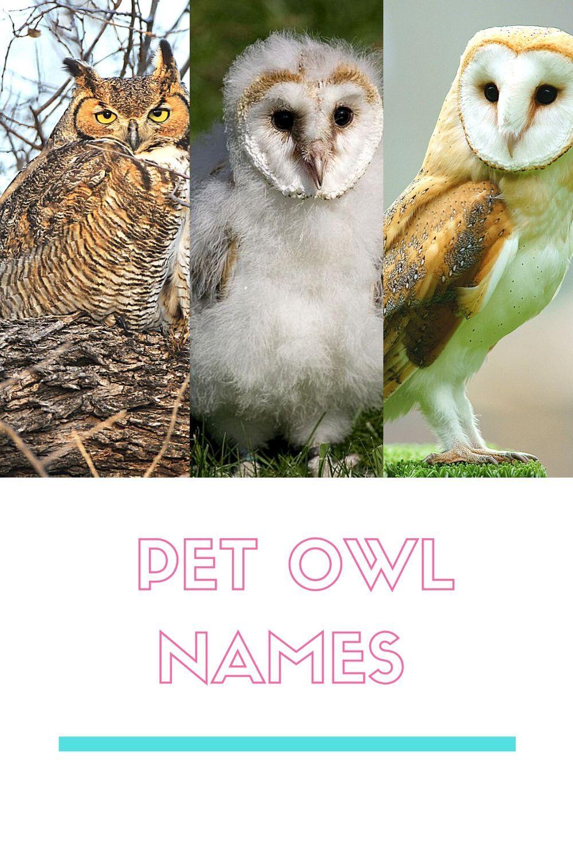 Best 300 Pet Owl Names Pets Owl Pet Names