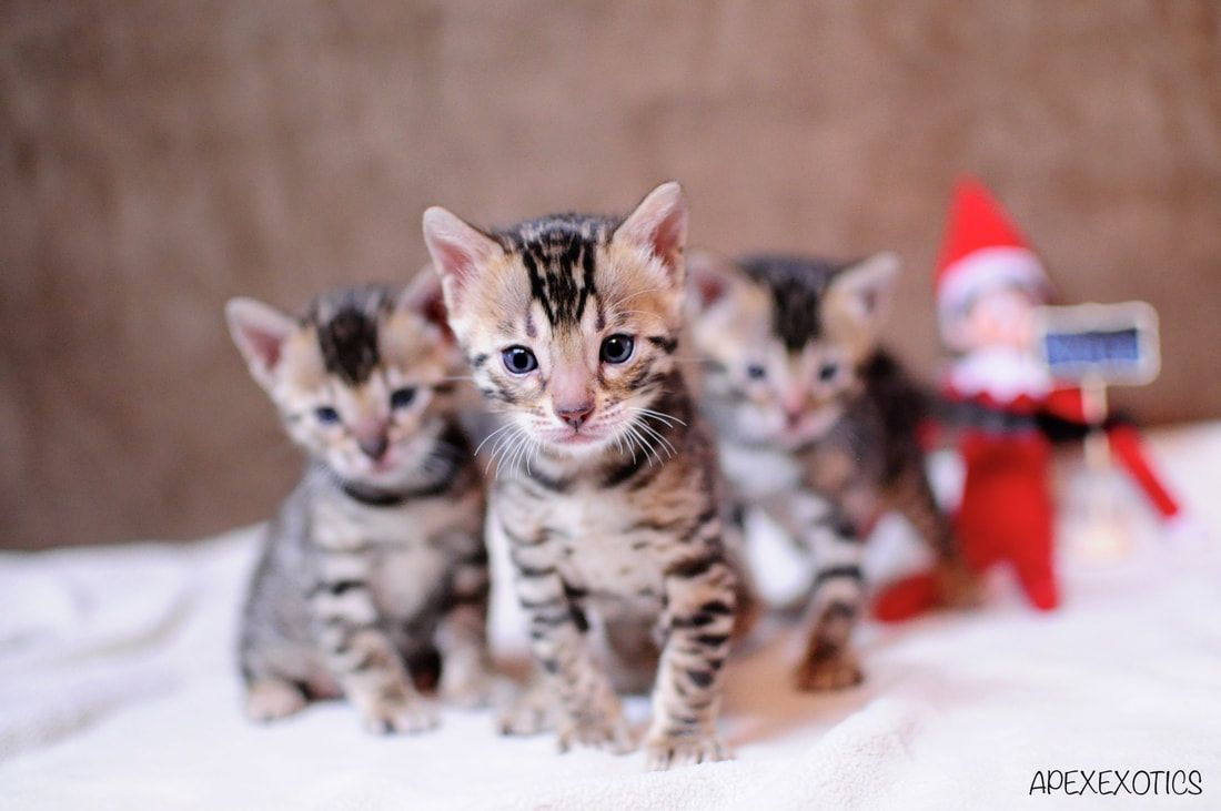 Bengal kitten | Our Bengal Kittens | Pinterest | Bengal kitten ...