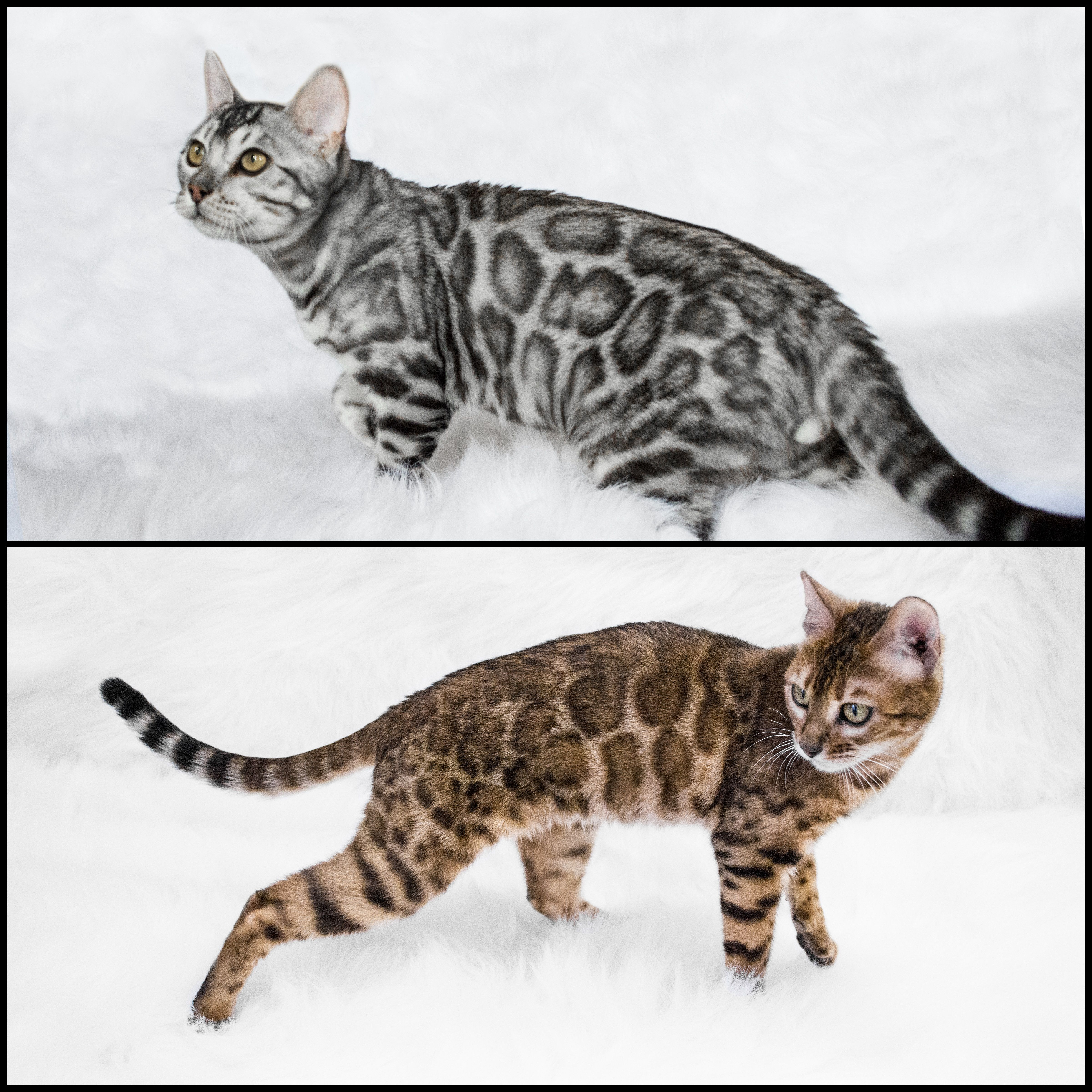 5 Wonderful Bengal Kittens Of All Color Were Born From This Beautiful Mating Karat Has Silver Blue Brown And Even Bengal Kitten Tabby Cat Orange Tabby Cats