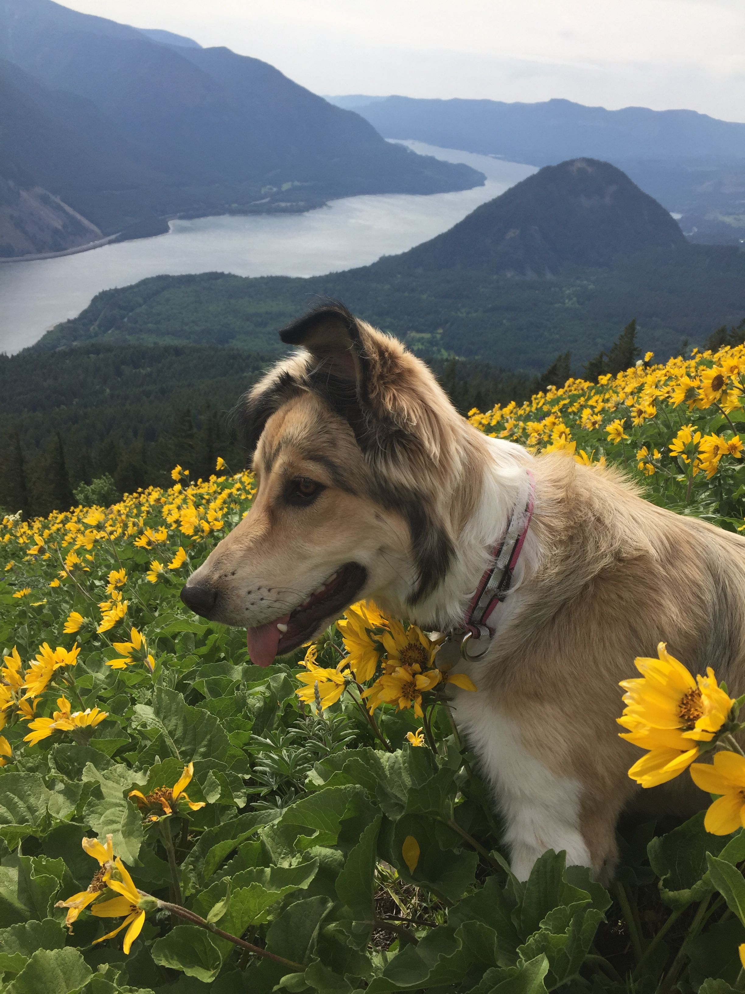 Dog mixed breed wildflower hike river view happy