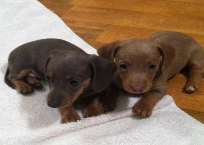 Isabella Colouring Dachshund With Longer Legs Love Love Love Baby Dachshund Dachshund Puppies Dachshund Breeders