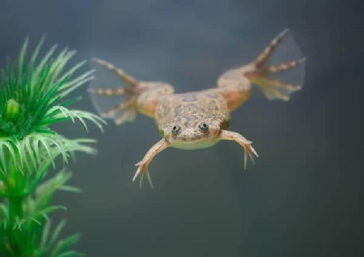 African Clawed Frog Klauwkikker Amfibieen Dieren Reptielen