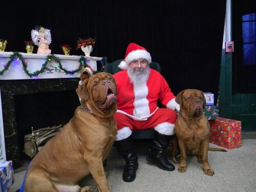 Tank At 206 He S The Biggest Dogue De Bordeaux In The World