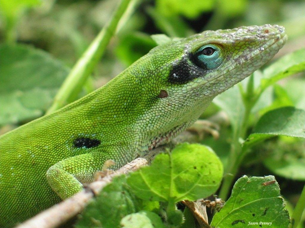 Papel de Parede Gratuito de Natureza : Anole Verde