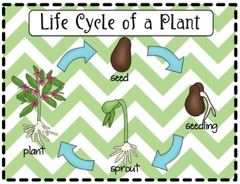 570b3fdcaebfa8e621d078f7776a4bc6 - Life Cycle Of A Plant For Kindergarten