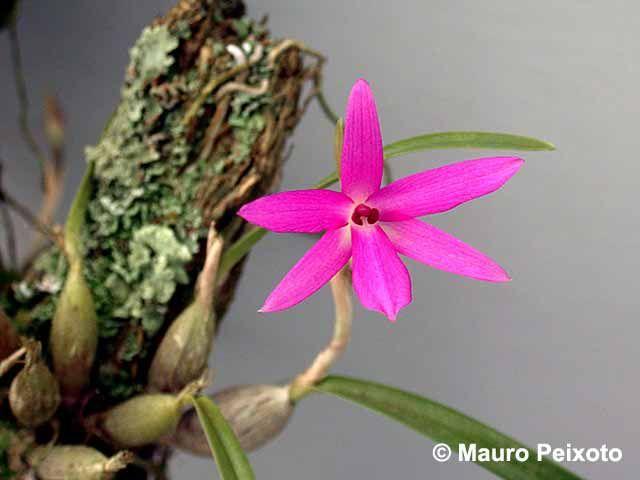 Sophronitella Violacea Com Imagens Tipos De Orquideas Flores