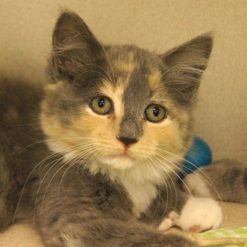 Adopted Apple Pie Is A 3 Month Old Female Domestic Medium Hair Polydactyl Dilute Calico Kitten She Is Sweet As An Apple Pie Thi Calico Kitten Dog Cat Cats