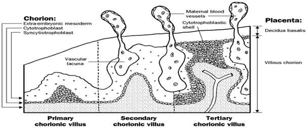 Fig.4 showing primary, secondary & tertiary villi [cited in Anatomy ...