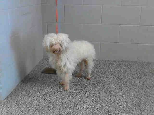 BOBBI-ID#A468967  My name is Bobbi and I am a neutered male, white Poodle - Miniature. Shelter staff think I am about 11 years old. I have been at the shelter since Jul 11, 2014.  For more information about the adoption process, click here: Animal Control. Note that the last adoption will start at 4:30 pm.