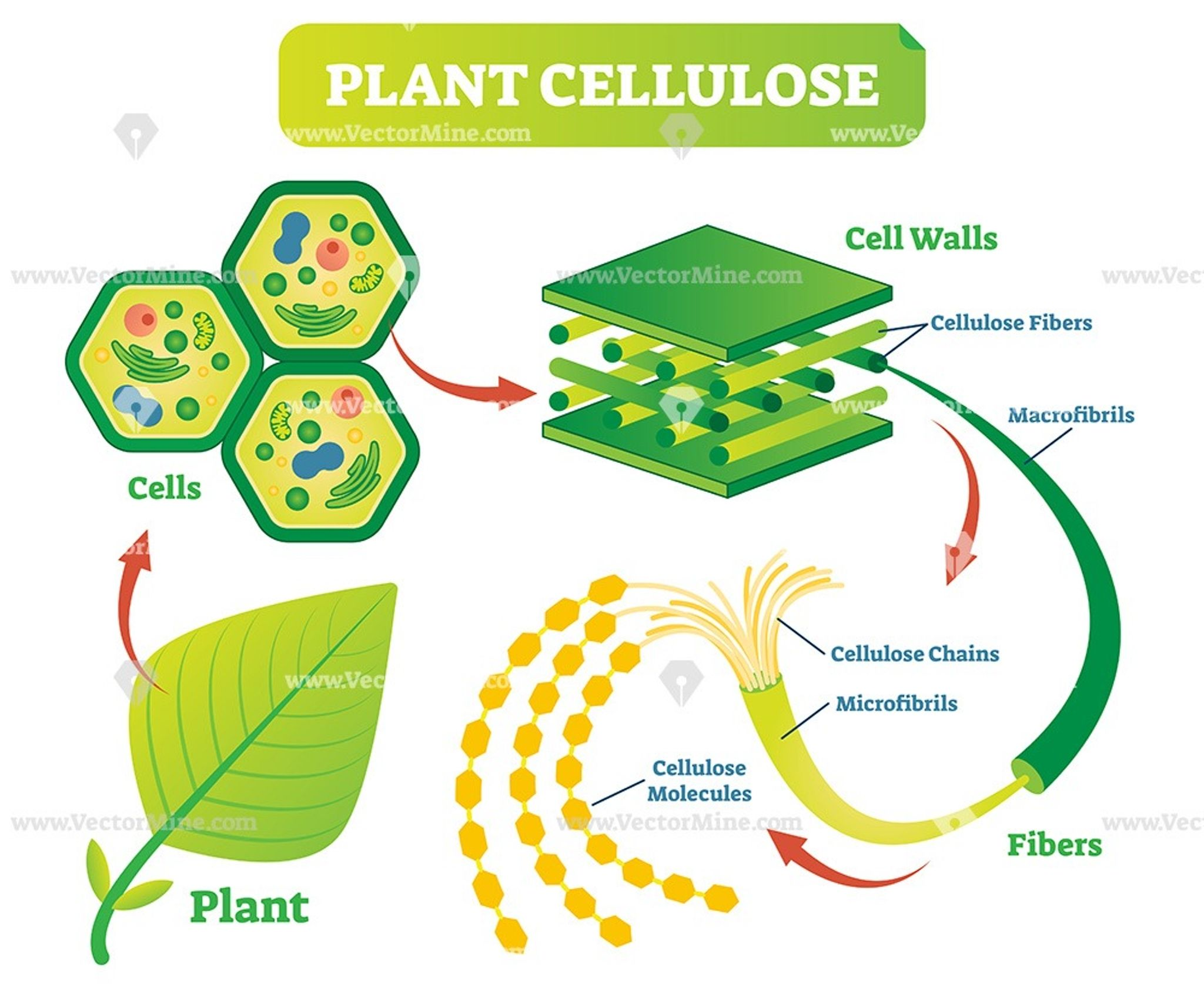 Plant cellulose biology vector illustration diagram | Cell ...