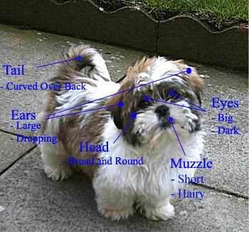 Shih Tzu Characteristics Shih Tzu Puppy Cute Dogs Dog Breeds