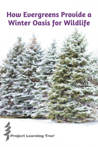 How Evergreens Provide A Winter Oasis For Wildlife In 2020 Tree Identification Evergreen Wildlife