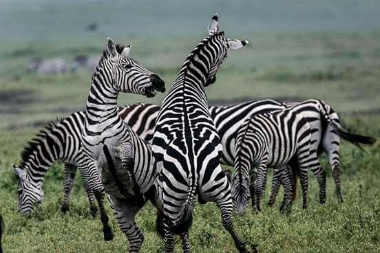 Zebra standoff in Ngorogoro Crater