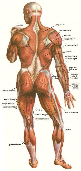 Artistic Anatomy   Anatomy References   Pinterest   Medizinstudium ...