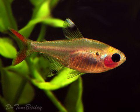 Tetra For Sale Aquarium Fish Tetra Fish Goldfish For Sale