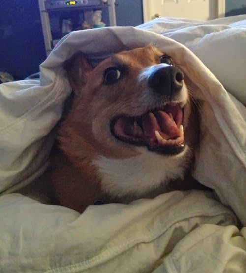 The Daily Corgi Rise And Shine Corgi Nation Corgi Cute Corgi