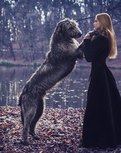 Best 25 Irish Wolfhound Dogs Ideas On Pinterest Irish