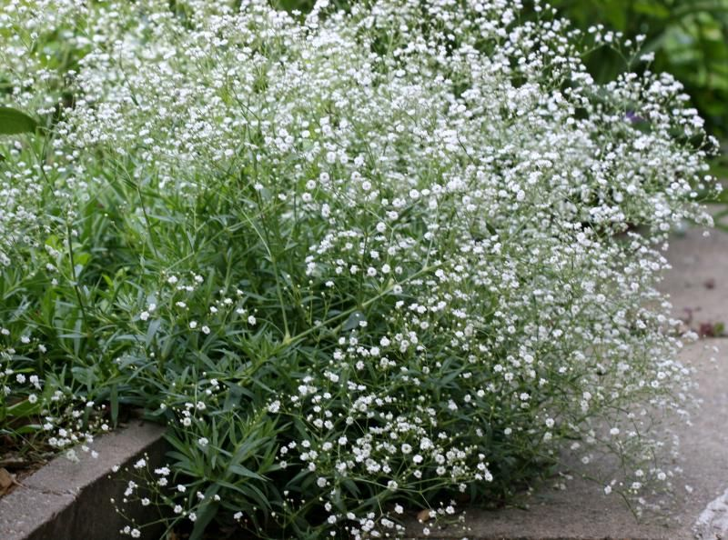 Baby S Breath Gypsophila Looks Like A Cloud Of Tiny Dainty White Or Pink Blooms Often Used In Rose Bouquets Baby S Breath Plant Plants Planting Flowers