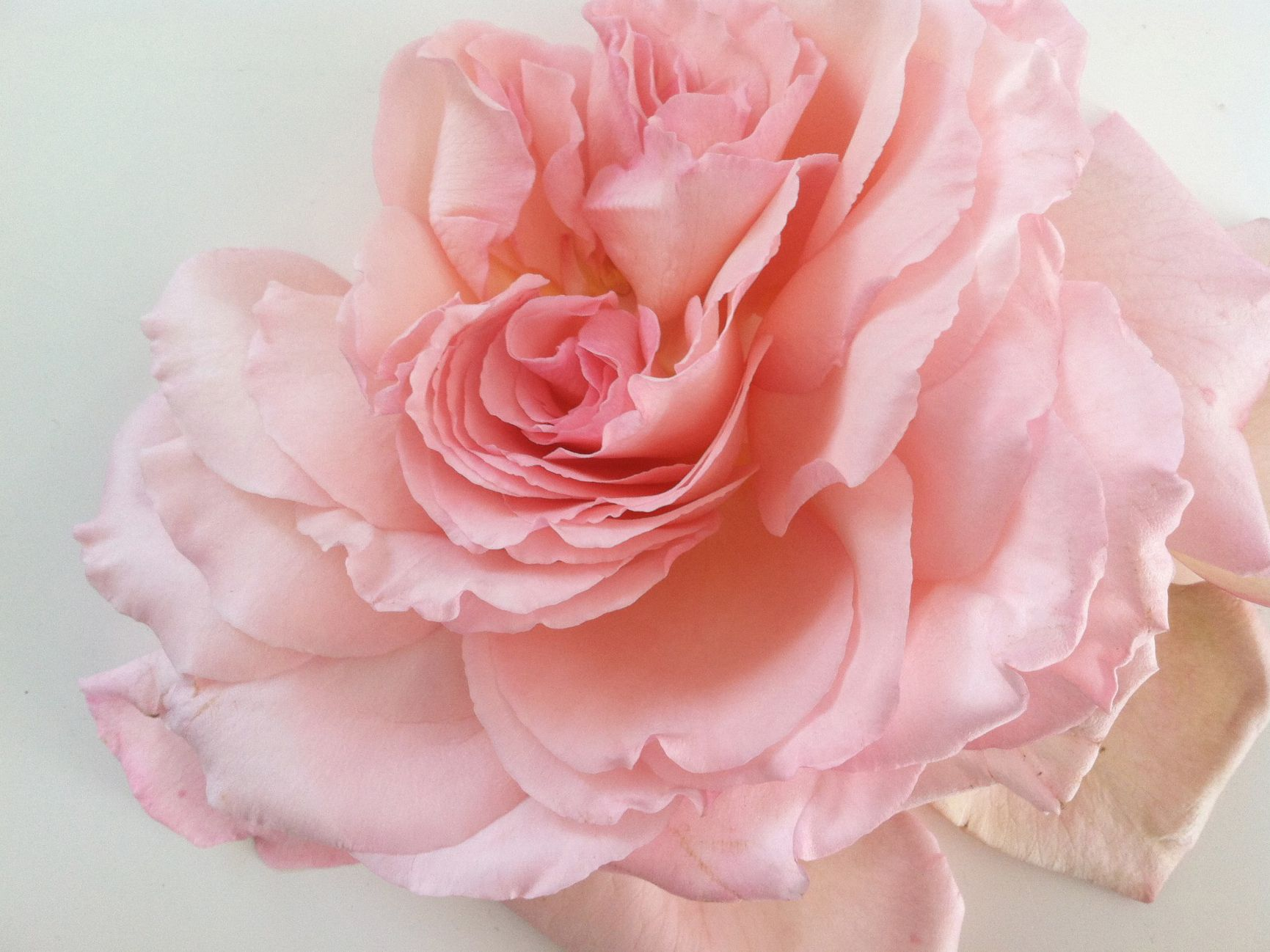 Pink Rose Rose Pinterest Pink Roses Pretty Flowers And Gardens
