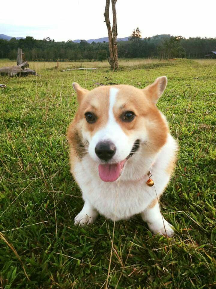 Greetings From Thailand Corgi Animals Dogs