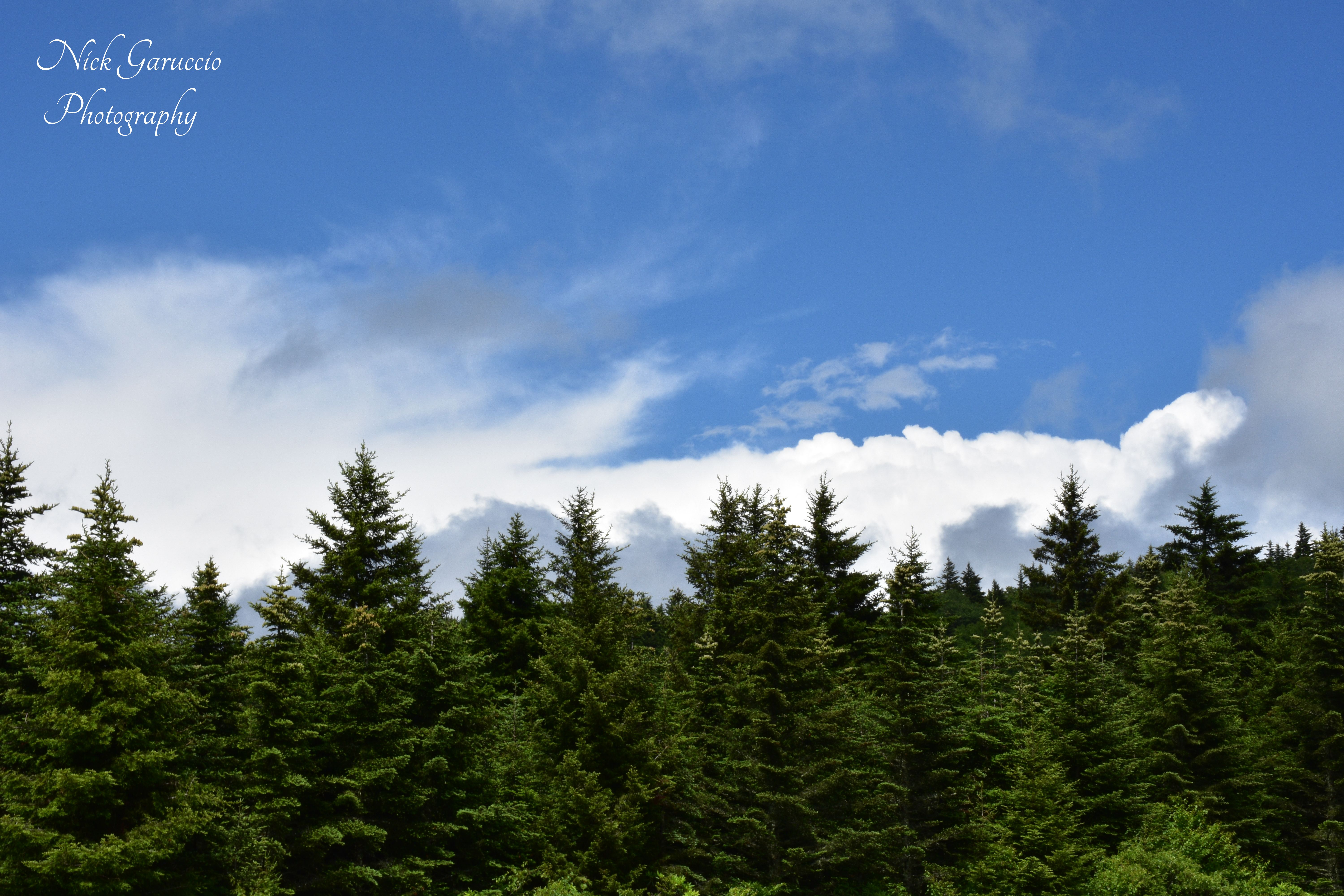 Beautiful Spruce Firs of the High Country