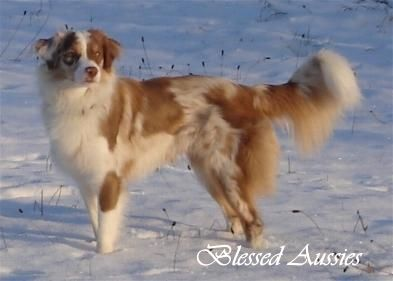 Mini Aussie Rüden red & blue merle Blessed Aussies - Blessed ...