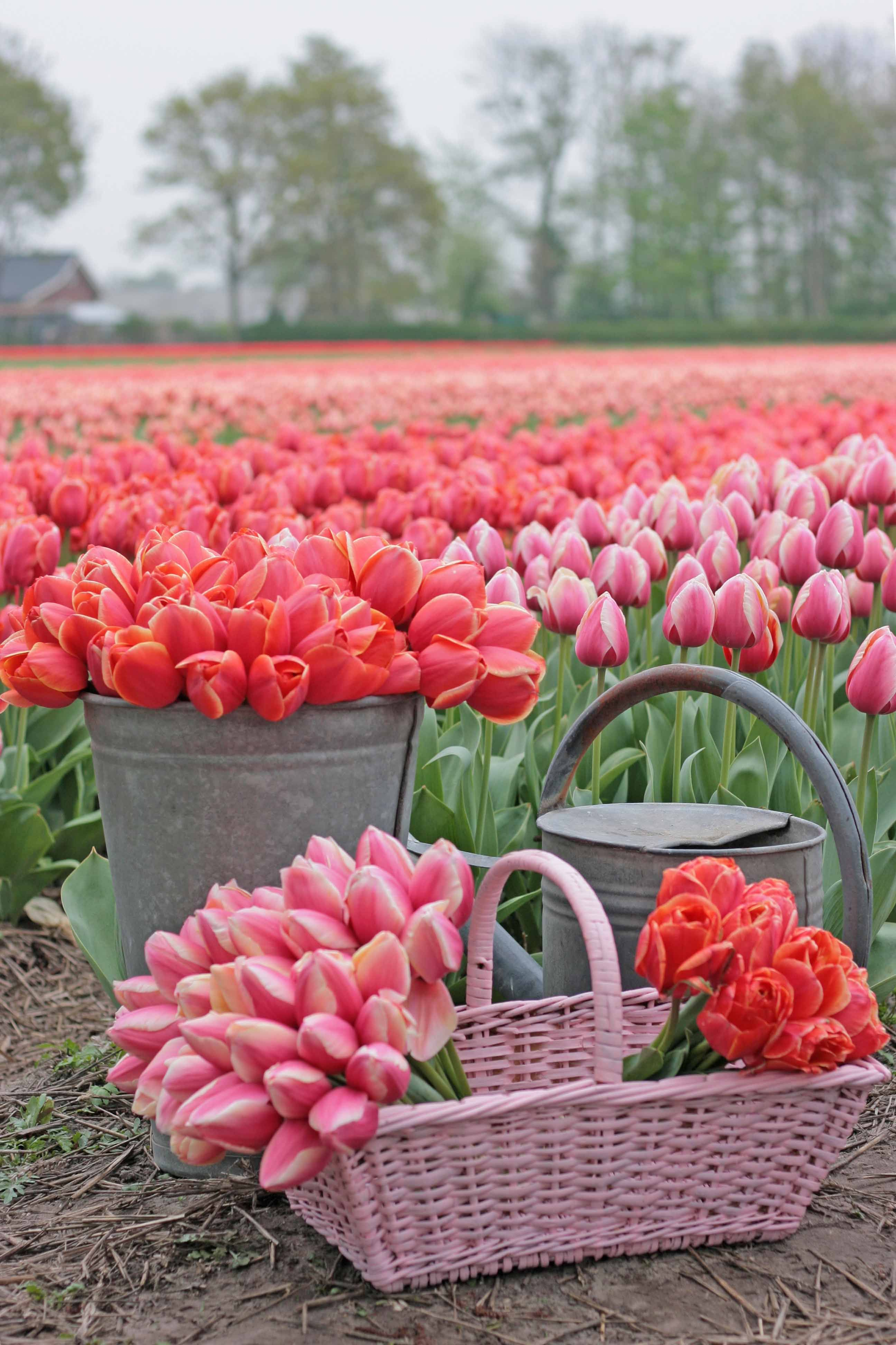 Endless Fields Of Tulips Plant Some Tulip Bulbs In Your Garden And You Will Enjoy A Flowery Spring Tulips Add So Mu In 2020 Planting Tulips Flower Farm Tulips Garden