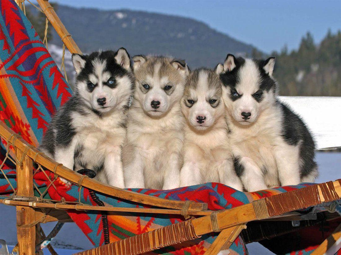 Husky Siberiano | PERROS PARA MI PATIO! | Pinterest | Siberian ... | Siberian Husky Puppies Adoption Michigan