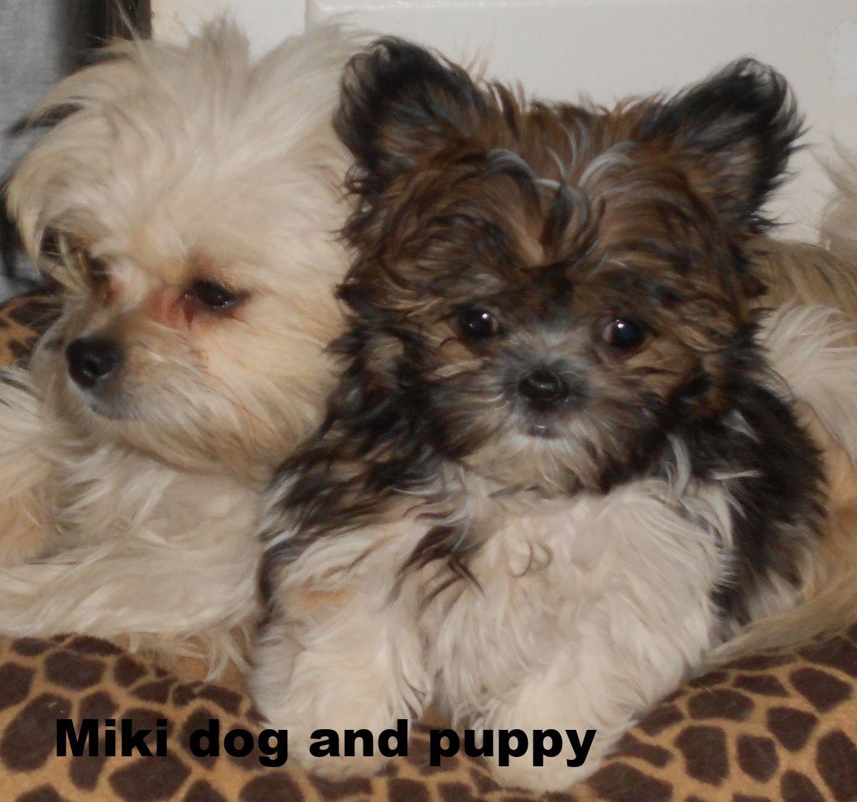 DSCN6763.JPG Miki dog, Puppies, Baby animals