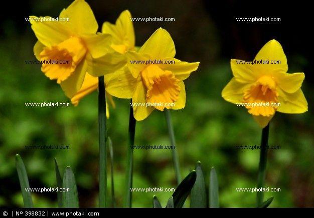 Tres Narcisos Amarillos Todo Color Amarillo Pinterest - Narcisos-amarillos